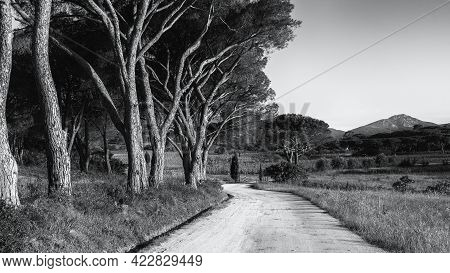 Black And White Image Of Sunlight On An Avenue Of Pine Trees Along A Track Leading To A Vineyard In