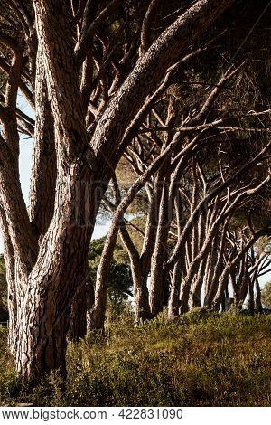 Evening Sunlight On An Avenue Of Pine Trees In A Vineyard In Corsica