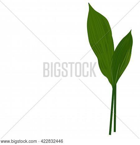 Green Juicy Aspidistra Leaves Vector Stock Illustration. Green Snowdrop Tops. Spring Flora. Lush Gre