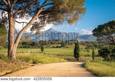 Evening Sunlight On A Large Pine Tree By The Side Of A Track Leading To A Vineyard In Corsica With M