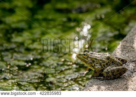 One Pool Frog Sitting On Ground In Natural Habitat. Pelophylax Lessonae. European Frog. Beauty In Na