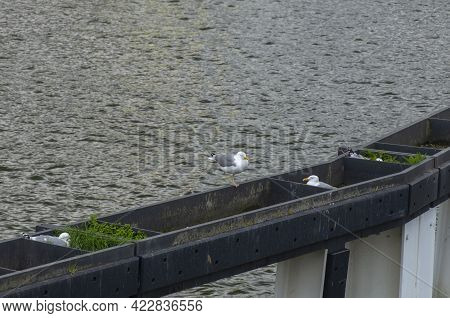 Nests Of Seagulls In The Port On The River