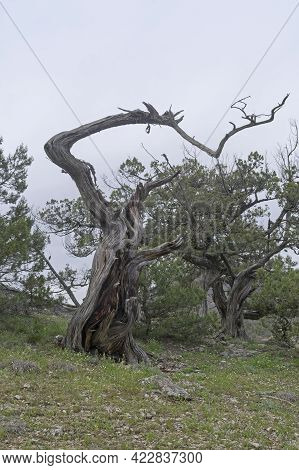 Dried Relict Treelike Juniper (juniperus Excelsa) With A Bizarrely Curved Trunk. Crimea.