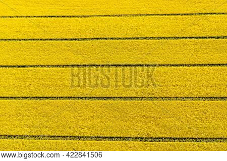Top Down View Of Yellow Canola Field, Cultivated Rapeseed Canola Plantation Field