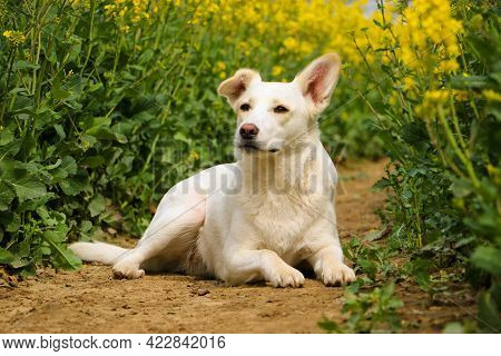 A Beautiful White Mixed Dog Is Lying In A Rape Seed Field
