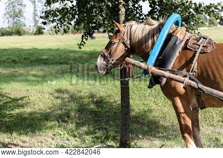 Brown Horse Harnessed To A Cart. Harnessed Horse.