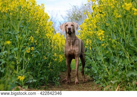 Beautiful Gray Weimaraner Is Standing In A Yellow Rape Seed Field