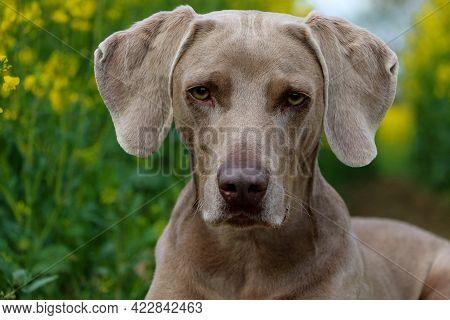 A Beautiful Gray Weimaraner Head Portrait Outdoor