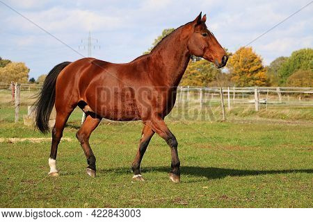 Beautiful Brown Quarter Horse Is Running On The Paddock