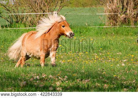 Beautiful Mini Shetland Pony Looks Like A Haflinger Horse Is Running On The Paddock
