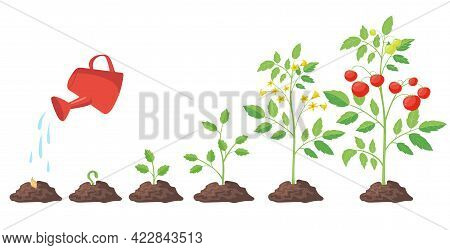 Cycle Of Growth Of Tomato Plant Vector Illustrations Set. Growing Process From Seedling In Soil And