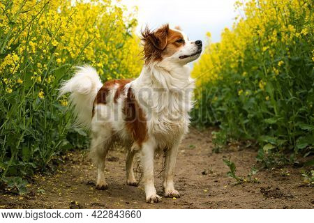 Brown And White Mixed Dog Is Standing In A Rape Seed Field