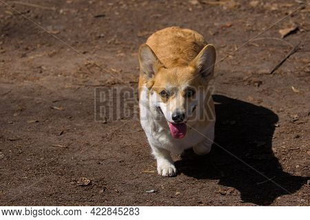 Cute Dog Pembroke Welsh Corgi In Park On A Walk. A Popular Breed Of Dog. Pets. Sunny Day. Close-up.