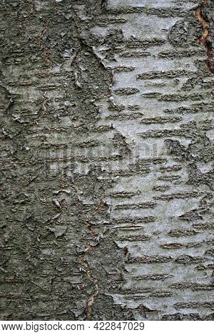 Wild Cherry, Prunus Avium, Tree Bark With Horizontal Lenticel Stripes Which Could Be Used As A Backg