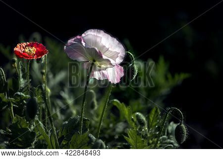 Large Pink Poppy. May Poppy On A Green Background.white And Pink Poppy In The Foreground.large Flowe