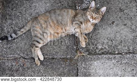 Tabby Cat Naps And Looks Into Camera. Cute Fluffy Cat Purrs Sleeping. Top View Of Young Pet Animal W