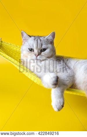 Adorable White Cat On Yellow Fabric Hammock Isolated On Yellow Background