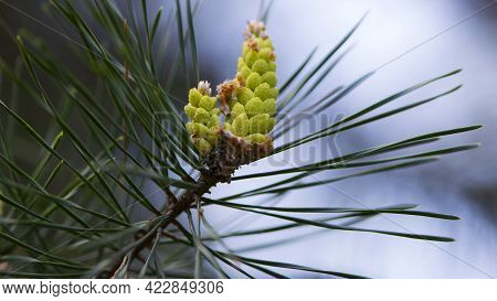 Pinus Resinosa. Young Tender Cones On A Pine Branch In The Forest. Closeup Of Red Pine, Pinus Resino