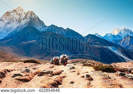 Yak Carrying Cargo On The Way To Everest Base Camp In Himalayas, Nepal. View Of Ama Dablam Mount In