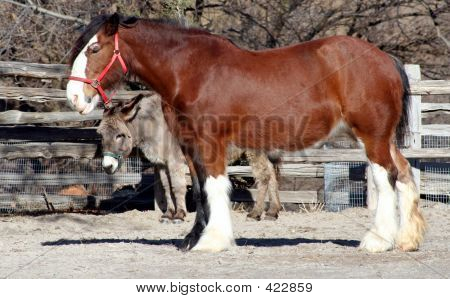 Clydesdale Horse And Donkey