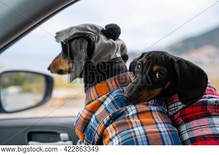 Two Cute Dachshunds Wearing Flannel Plaid Shirts In Car In Passenger Seat Are Getting Ready For Jour