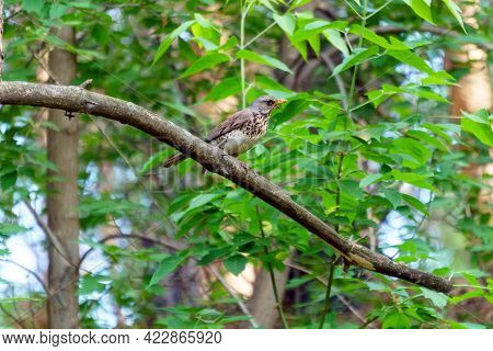 Fieldbird Turdus Pilaris Sits On A Tree Branch. Close-up. Bird Thrush Family Turdidae