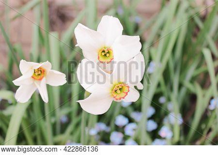 White Poets Narcissus Flower (narcissus Poeticus, Daffodil, Pheasant's Eye) Against Dark Emerald Gre