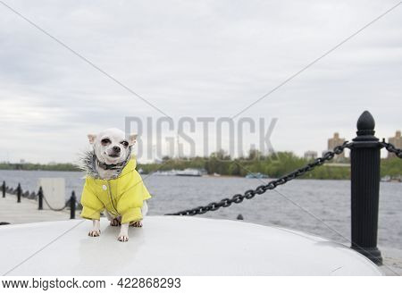 A Chihuahua Dog Sits In A Yellow Jacket On The Embankment Of The River And A Strong Wind Blows In It