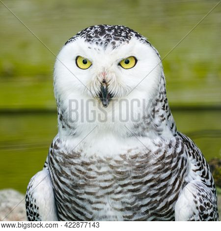 A Frontal Portrait Of A Passive Snowy Owl With Yellow Eyes