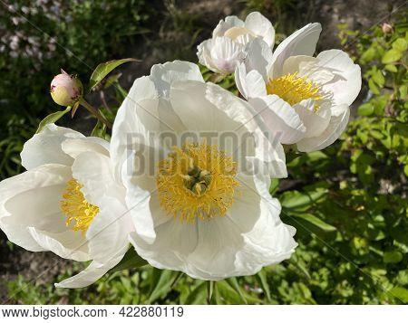 Chinese Herbaceous Peony \'white Wings\' (paeonia Lactiflora F. Pilosella Nakai), Common Garden Peon