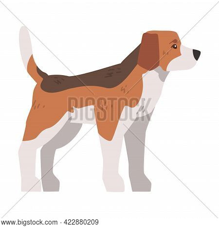 Side View Of Cute Small Beagle Dog Pet Animal, Hunting Dog With Brown White Coat And Long Ears Beagl