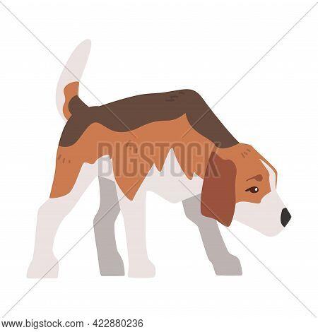 Small Beagle Dog Pet Animal, Hunting Dog With Brown White Coat And Long Ears Beagle Cartoon Vector I