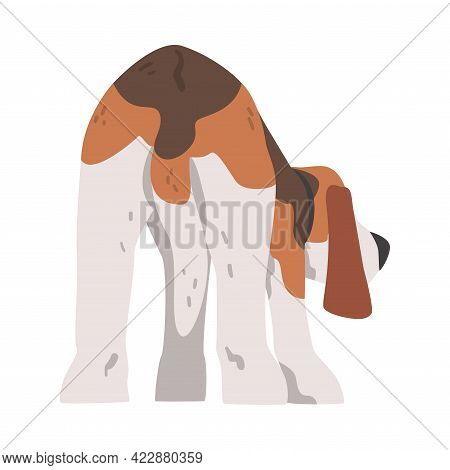 Back View Of Beagle Dog Pet Animal, Hunting Dog With Brown White Coat And Long Ears Beagle Cartoon V