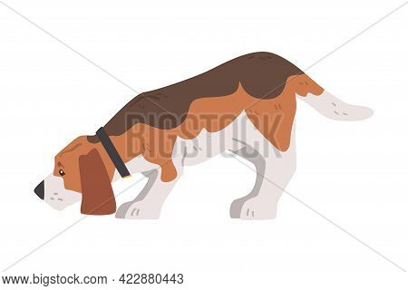 Cute Beagle Dog Pet Animal Sniffing The Ground, Small Dog With Brown White Coat And Long Ears Beagle