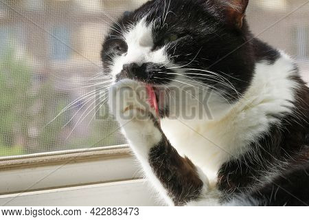 A Contented Black And White Cat Licks Its Paw While Sitting On An Open Window Next To A Mosquito Net