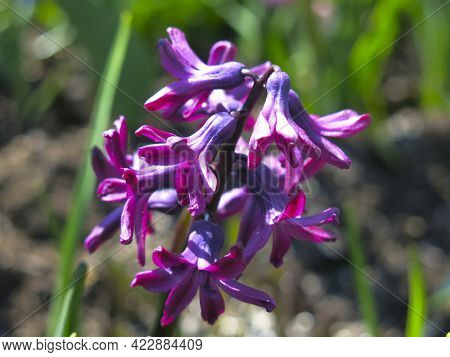 Purple Hyacinth Bloomed In The Flower Bed In The Spring