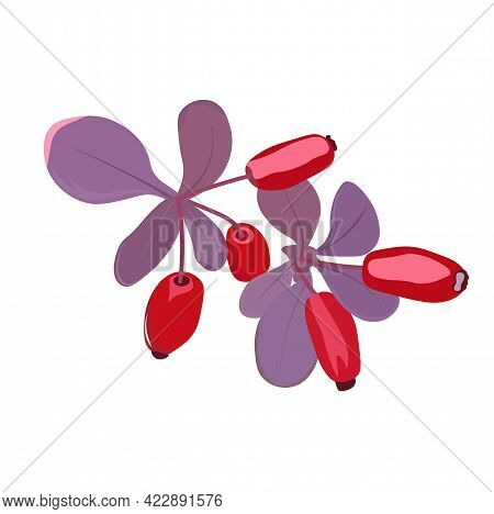 Stock Vector Illustration Of The Berries Of Barberry. Ripe Purple Fruits Of Goji Berries. Isolated O