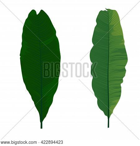 Vector Stock Illustration Tropical Leave. Green Leaves. Isolated On A White Background.