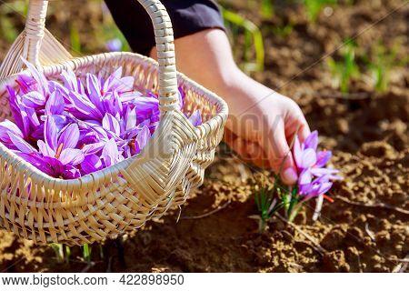 Picking Saffron In A Wicker Basket. Saffron Flowers On A Saffron Field During Flowering.