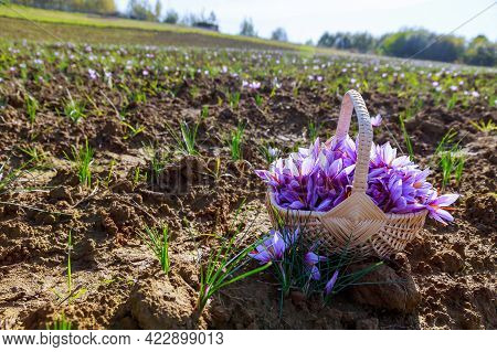 Full Basket Of Saffron Flowers In A Wicker Basket On A Saffron Field During Blooming In Autumn.