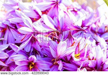 Full Basket Of Saffron Flowers On A Saffron Field During Blooming In Autumn.