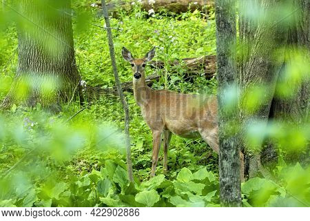 The White-tailed Deer , Hind On The Forest