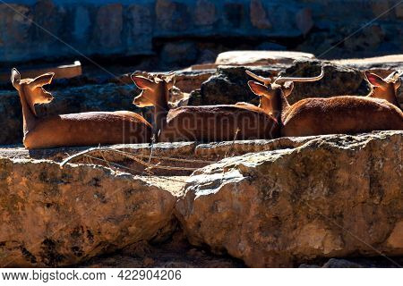 Deers On The Rocks . Roe Deers Standing Together