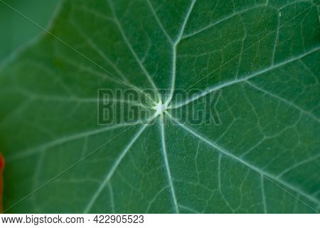 Green Leaf Of The Garden Nasturtium (tropaeolum Majus) Also Known As Nasturtium, Indian Cress Or Mon