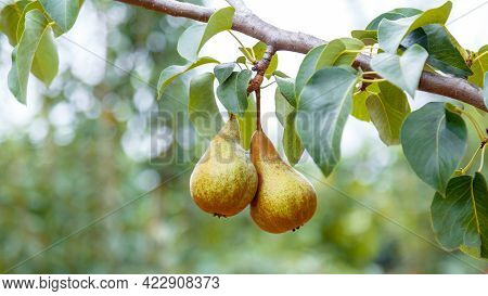 Pears Grow On Tree. 2 Ripe Pears Grow On Tree In Garden. Delicious Ripe Pear Fruits During Autumn Ha