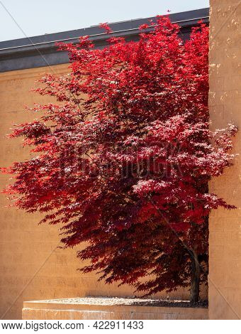 Japanese Palmate Maple With Its Distinctive Red Leaves During The Spring Season Near The Wall In Sal