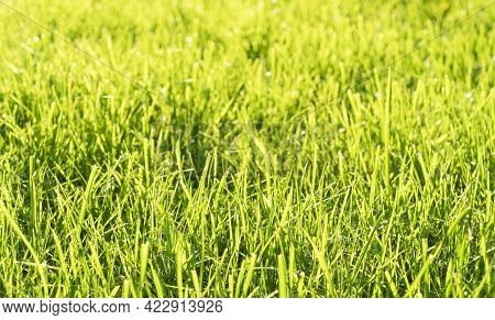 Green Fresh Summer Lawn Grass Background. Close Up View Beautiful Fresh Grass At The Evening Sunset.