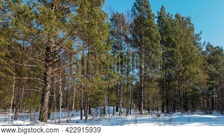 Winter Coniferous Forest Against A Clear Blue Sky. Tall Trees With Spreading Branches. Shadows In Th