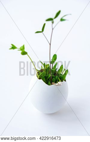 Fresh Micro Greens. Microgreens Of Arugula And Cress Grow In White Egg Shell. Sprouts. Seedlings Wit