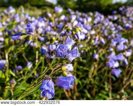 Beautiful Blue Floral Background. Macro Shot Of Flower With Light Blue-violet Petals Of Spreading Ja